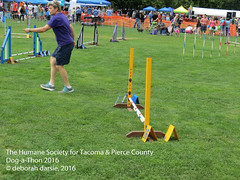 DAT2016_Agility_1180 (greytoes_99) Tags: agility dat2015 dat2016 event humanesocietytacoma people summer tacoma tacomahs volunteers dog humananimalbond cat lakewood wa us