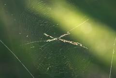 Cyclosa (dustaway) Tags: tullerapark tullera northernrivers nsw nature australia spiderweb araneidae araneinae cyclosa