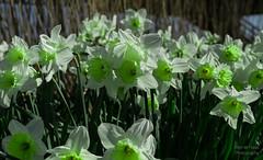 ND5_0815_Lr-edit (Alex-de-Haas) Tags: nederland noordholland sintmaartensbrug thenetherlands bloem bloemen buiten buitenshuis daffodil daffodils flower flowers lente narcis narcissen narcissus outdoors spring sunny zonnig