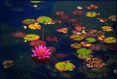 Water Lily (Martin Smith - Having the Time of my Life) Tags: waterlily waterlillies pond vandusenbotanicalgarden vandusengarden nikonafsnikkor70200mmf28gedvrii nikond750 martinsmith martinsmith vancouver bc canada garden