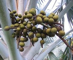 Bismarckia nobilis (Oriolus84) Tags: townsville australia queensland palm bismarckpalm bismarckianobilis bismarckia arecaceae andersonparkbotanicgardens andersongardens botanicgardens cultivated palmtree fruit