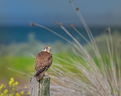 Brown falcon by the sea (anthonyt1120) Tags: falcon brown seaside reeds yellow flowers bird wildlife avian avalon australia nature
