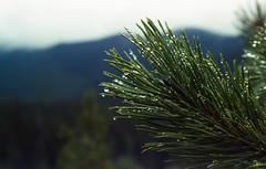 Prickle (Mitchell Bundy) Tags: alberta mountains nature needles pine rain tree water