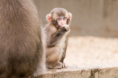 2016-09-01-17h07m45.BL7R5155 (A.J. Haverkamp) Tags: canonef100400mmf4556lisiiusmlens amsterdam zoo dierentuin httpwwwartisnl artis thenetherlands japansemakaak japanesemacaque dob09062016 pobamsterdamthenetherlands