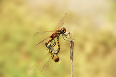 Love is in Air, Dragonflies Mating (Traveler | Photographer | Graphic Designer) Tags: dragonfliesmating dragonfly insect macro naturebeauty naturephotography naturephotograph natureimages canonimage canonshot instagramimages flickrimages flickrworld flickrshot flickrnature