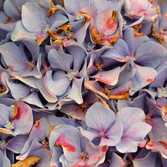 Fading Hortensia (alderney boy) Tags: brittany finistère bloom hydrangea hortensia mauve purple faded flower shrub anther stamen filament
