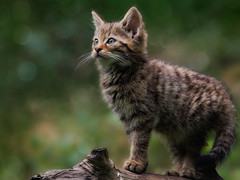 High Hopes (FocusPocus Photography) Tags: wildkatze wildcat katze cat feline kitten jungtier felissilvestris wildparadies tripsdrill wildtier wildlife