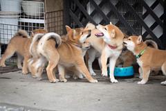 Yotsuba365Day70 (Tetsuo41) Tags: dog shibainu yotsuba