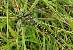 gold-ringed dragonfly (Suzie Noble) Tags: dragonfly goldringeddragonfly insect horseshoebog bog water strathglass struy