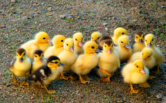 Patinhos (Woytyna) Tags: patos aves