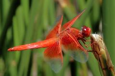 Balance beam (TJ Gehling) Tags: insect odonata dragonfly anisoptera skimmer libellulidae flameskimmer libellula libellulasaturata canyontrailpark elcerrito