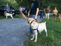 Calvin looks over at Mitch while training outside at Hero Dogs class (hero dogs) Tags: dog labrador cute therapydog servicedog