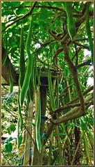 Wisteria--seed pods (Dan B. Pics.) Tags: garden climber wisteria seeding pods