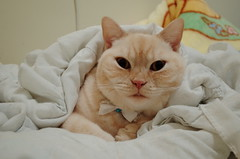 Sleep Cotton (desireelovehyacinth) Tags: home cat warm snapshot sleepy lazy ricoh ricohgr britishshorthair
