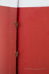 Avispero blindado (Joaquim F. P.) Tags: jfp fotografia macro macrophotography joaquimfp insect insecta insecto insecte naturalista himenoptero hymenoptera