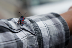 Red and Black Insect on Checkered Shirt (grey_goshawk) Tags: red shirt insect checkered