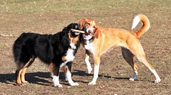 48/52 Weeks for Skye-Sister love at the dog park! (ginam6p) Tags: dog skye nikon maddy hound stick aussie australianshepherd tugowar 52weeksfordogs