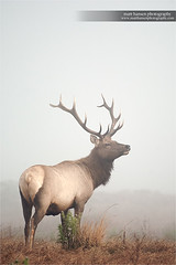 Elk Portrait in Fog (www.matthansenphotography.com) Tags: nature field grass animal fog mammal wildlife bull antlers elk biggame bullelk matthansenphotography weatherscent