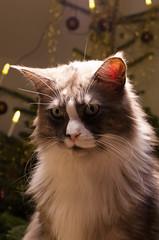 6th Birthday (God.Mark) Tags: weihnachten tiere joker katzen pentaxda1855wr pentaxk5