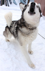 Husky (ZoyaYeah) Tags: dog love dogs puppy puppies husky huskies siberian thebest