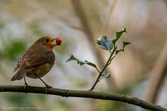 Robin and berry (Northern Images Photography) Tags: christmas red classic nature robin berry breast with reserve holly card brockholes
