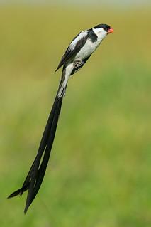 Veuvve dominicaine mâle plumage nuptial