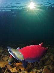 (NirupamNigam) Tags: sun lake alaska underwater salmon freediving sunburst iliamna sockeyesalmon redsalmon lakeiliamna pedrobay