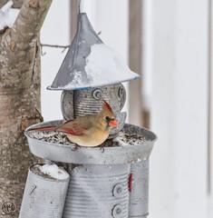 Female Cardinal (Mike Matney Photography) Tags: snow storm bird nature weather birds canon illinois backyard midwest cardinal wildlife troy february 2015 eos7d