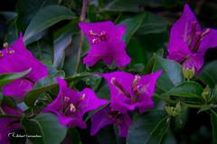 (bouganvile) Bouganvillea spectabilis,Nyctaginaceae 2 (Alderi Fernandes) Tags: flores brasil alamanda zinia floramarela florvermelha