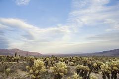 Teddybear cholla (Cylindropuntia bigelovii); Cholla Cactus Garden (Joshua Tree National Park) Tags: california sunset sky nationalpark desert joshuatree mojave teddybear cholla coloradodesert cylindropuntiabigelovii