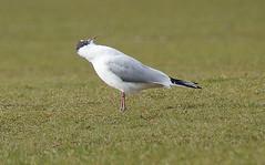 Seagull Sneezing (Helmet Betty) Tags: bird seagull gull sneeze blessyou achoo