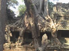 Trees Engulfing Ta Prohm