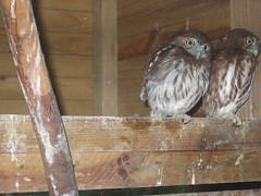 Owls in the Corner