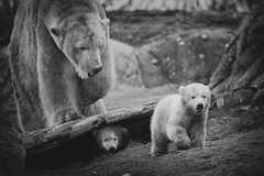 Polar Bear Twin (♥siebe ©) Tags: bear holland netherlands beer dutch animal zoo rotterdam blijdorp nederland twin polarbear dier ijsbeer dierentuin beren 2015 tweeling diergaardeblijdorp ijsbeertweeling ijsbeertjes