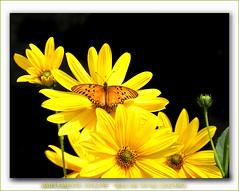 Simplemente yellow - Diaz De Vivar Gustavo (Diaz De Vivar Gustavo) Tags: simplemente yellow amarillo lindo color flores flor vida amor mariposa vuelo dorado luz sentimientos garden jardin luces naturaleza viva dia vvivido life farfalla butterfly