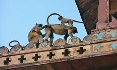 INDIEN, historisches Orchha, Hanuman-Languren auf der Palastspitze, 14105/6961 (roba66) Tags: travel india tourism animal animals monkey tiere reisen asia asien fort urlaub visit palace explore ape baboon creature primate apes indien palast tier inde voyages affe jahangir orchha jehangir northernindia tikamgarh rajamahal monkys pradesh roba66 languren madhya indiennord indienhistorischesorchha hanumanlanguren