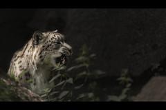 Stinging Nettles (Blitzknips) Tags: tiere tierpark tierparkberlin tier sonya77 snowleopard schneeleopard a77 alpha77 animal animals mammal säugetier raubtier raubkatze katze cat bigcat groskatze predator