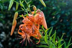 DSC_6017.jpg (kTomoyuki) Tags:  lily  tigerlily