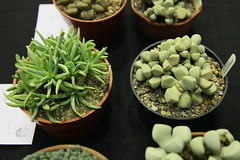 Ebracteola montis-moltkei, Lapidaria margaretae (left to right)