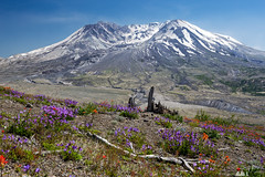 Mount St. Helens (Sophie Carr Photography) Tags: flowers usa mountain volcano washington roadtrip wildflowers washingtonstate mountsthelens deadtrees