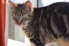Mara ! (Mara 1) Tags: pink pet window face animal cat eyes kitten stripes coat tabby ears whiskers indoors collar blackgreyfawn