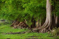 Vert (Marco Wence) Tags: naturaleza lake verde green nature mxico forest river agua sony vert bosque michoacn ahuehuete lagodecamecuaro lagosdemichoacn tanganccuaromichoacn waterenvirons alfa55 marcowence cipresdemoctezuma sonyalma