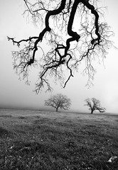 branches and oaks (hbphototeach) Tags: approved santa ana road hollister california bayarea back roads fog oak trees landscape black white