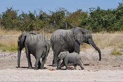 10075737 (wolfgangkaehler) Tags: africa elephant mammal nationalpark digging african wildlife dry zambia africanelephant babyelephant southernafrica animalbabies babyanimal babyanimals 2016 zambian dryriverbed southluangwanationalpark animalbaby africanelephantloxodontaafricana diggingforwater