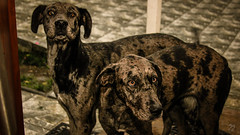 Gran Daneses (SuecoBetto) Tags: suecobetto chile canon photography dogs danes quilpue via valparaiso domestic animals