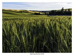 Ripening Barley Fields (keith_shuley) Tags: green barley washington grain fields palouse easternwashington olympusomdem1