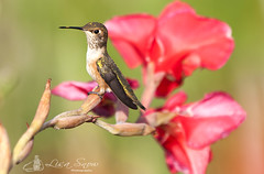 IMG_2839_edit_resized_wm (Lisa Snow Photography) Tags: hummingbird