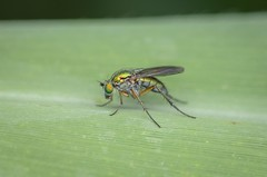 Unidentified fly (stephensmith54831) Tags: macro fly diptera sbr200 tokina100mm d7000