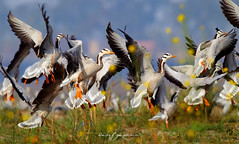 Bar Headed Geese (Wasif Yaqeen) Tags: barheadedgoose barheadedgeese goose geese barheadedgoosemigration barheadedgeesemigration goosemigration geesemigration nature wildlife birds birdsofpakistan pakistanwildlife wildlifeofpakistan animals pakistannature wasifyaqeen wasif animalplanet nationalgeographic outdoor birdsinnaturalhabitat birdshabitat pakistan wasifyaqeenphotography takeoff
