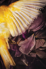 Fallen (AJWeiss71) Tags: pink flowers stilllife flower bird nature beautiful loss beauty yellow dark dead death sadness petals wings sad darkness wing feathers feather peony petal end canary melancholy sorrow ending amyweiss